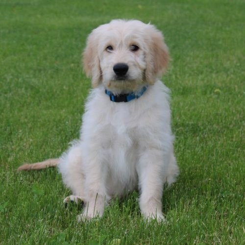 Male Blue – Available