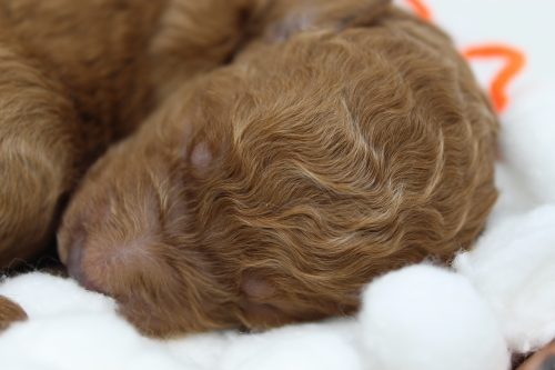 RESERVED – Minnie Mouse – F1b Female Standard Goldendoodle