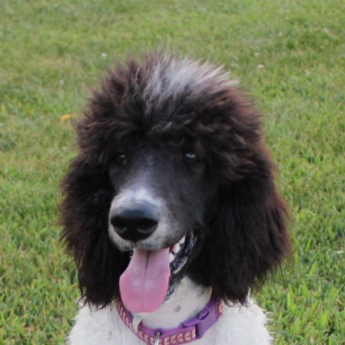 Available – AKC Female Standard Poodle