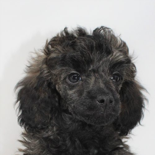 Reserved – Mary Ann – Brindle Female Miniature Poodle