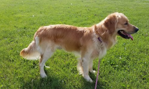 AKC Male Golden Retriever