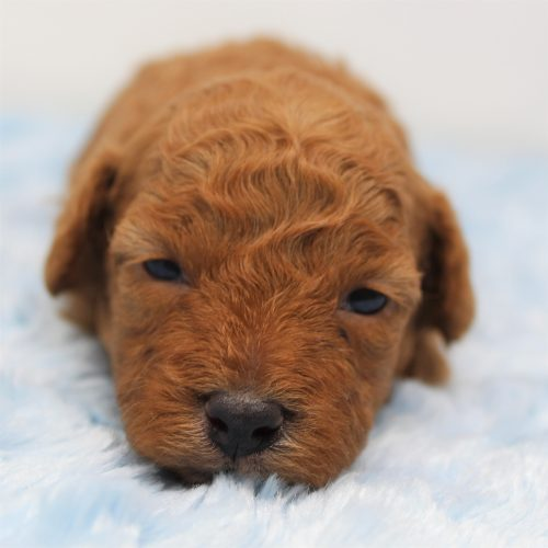Available – Paul – Male Red Toy Poodle