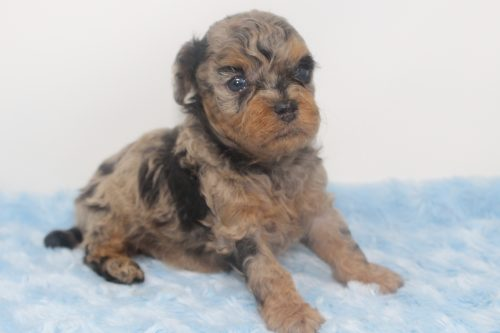 Available – Peter – Male Phantom Merle Toy Poodle