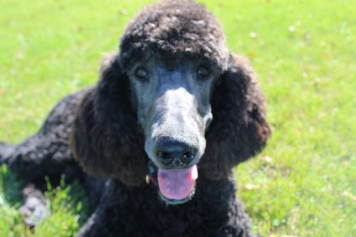Male Standard Poodle – Prince – Reserved