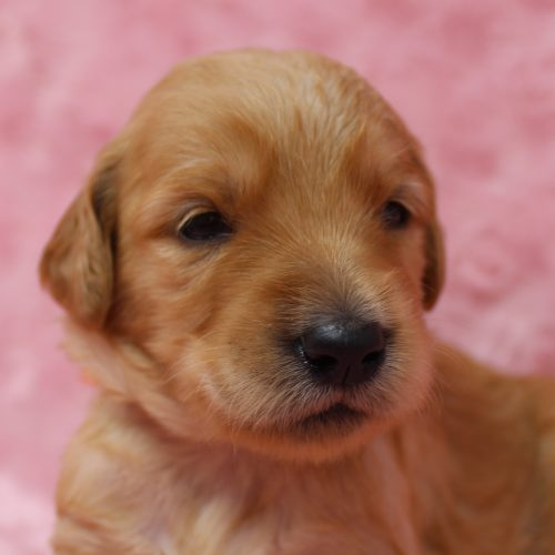 Female F1 Standard Goldendoodle Puppy for sale – Star
