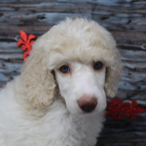 Female Standard Poodle White/Cream Parti – Fall