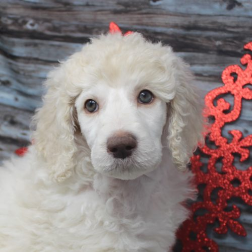 Female Standard Poodle Puppy White/Cream Parti – Summer