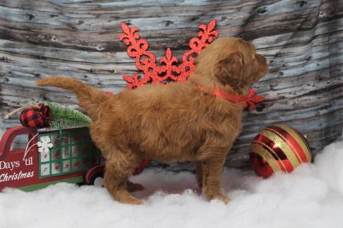 side view goldendoodle puppy standing