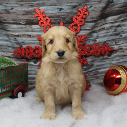 front facing goldendoodle puppy