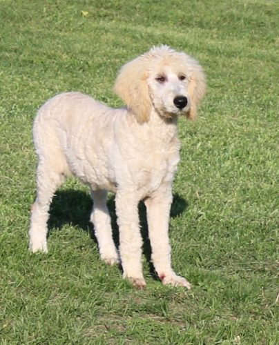 F1b Standard Goldendoodle Puppies Due 12/25/19