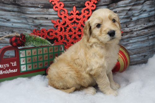 side view goldendoodle puppy