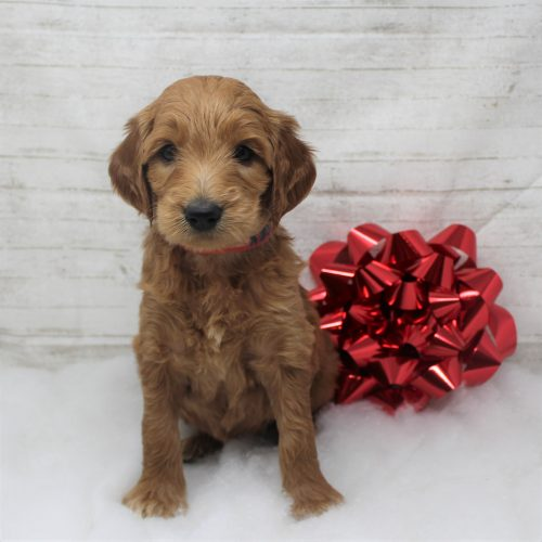 Female F1 Standard Goldendoodle Puppy for sale – Mary