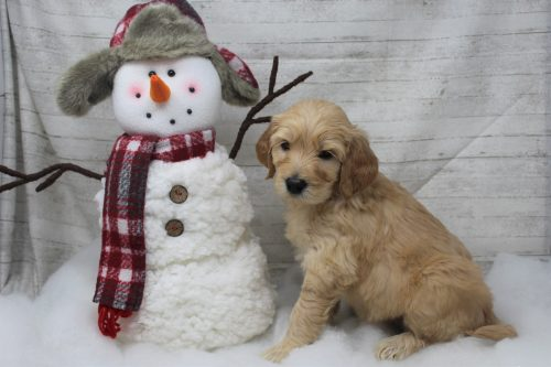 Female F1 Standard Goldendoodle Puppy for sale – Faith