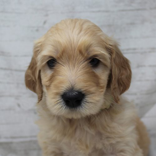 face view goldendoodle puppy
