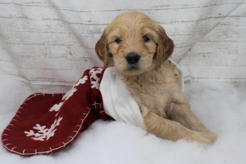 goldendoodle in christmas stocking