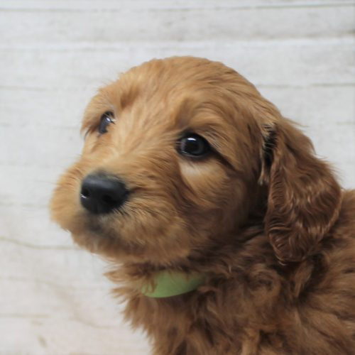 front view goldendoodle puppy