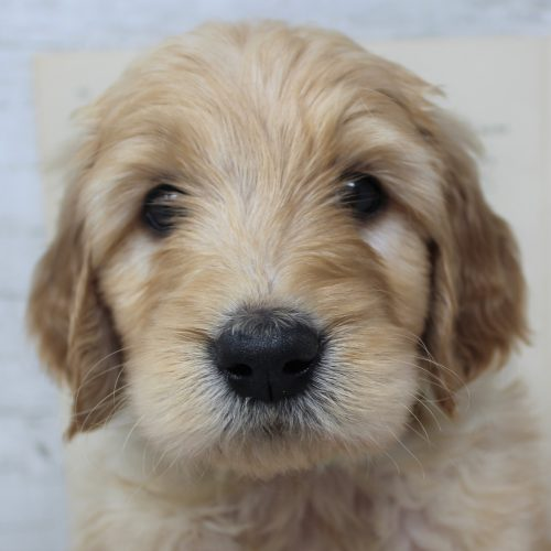 face goldendoodle puppy