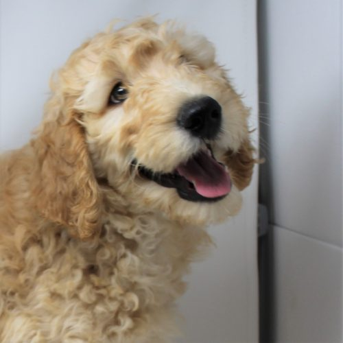 Male Standard Goldendoodle – Joseph – AVAILABLE