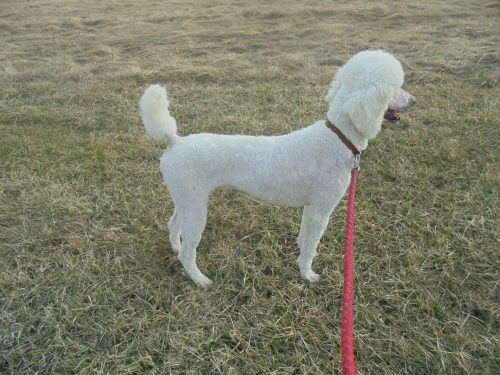 white cream parti male standard poodle