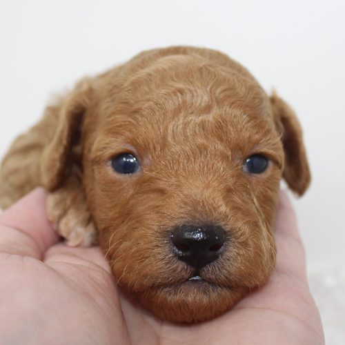 Male Toy Poodle Puppy – Luke – Reserved