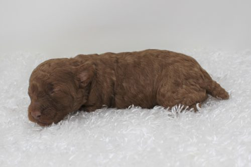 side view toy poodle puppy