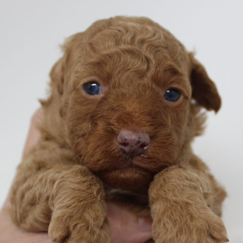 Female Toy Poodle Puppy – Katy – Reserved