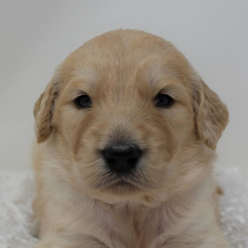 Female Standard Goldendoodle – Yellow Daisy