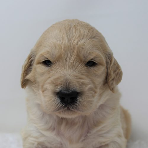 Male Standard Goldendoodle – Red Cosmos