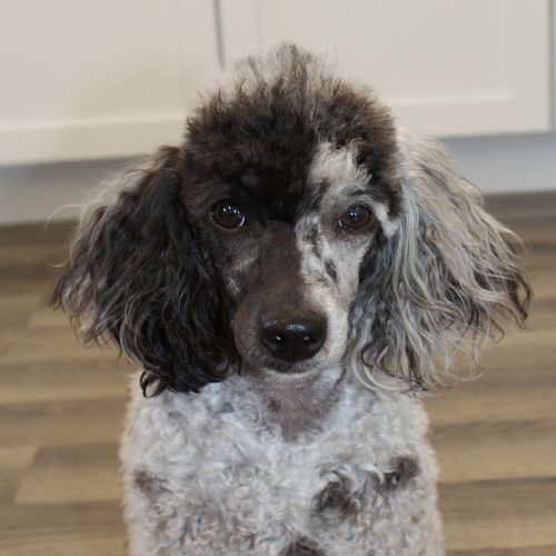 face view of poodle