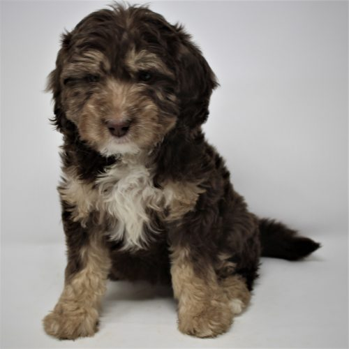 brown goldendoodle puppy