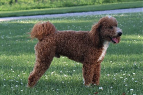 side view goldendoodle