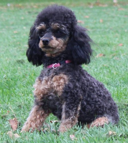female toy poodle