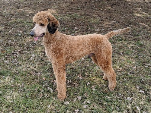 red stable male standard poodle