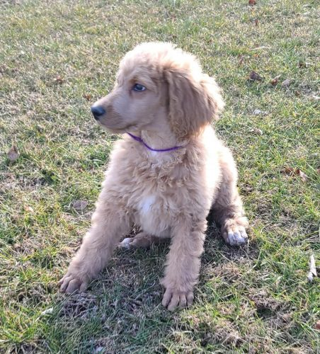 AKC Standard Poodle  – Purple Female – RESERVED