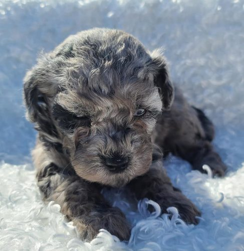 Female Merle Toy Poodle Puppy