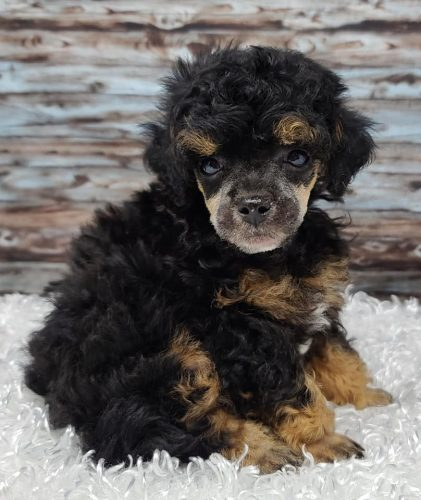 RESERVED – Male Phantom Abstract Toy Poodle Puppy