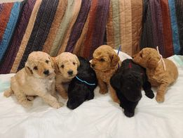 Miniature poodles – males available